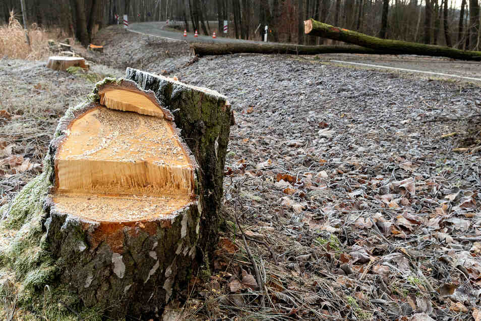 """Zwischen dem Bahnübergang aus Richtung B 6 und Seeligstadt haben Fällarbeiten begonnen. 147 Bäume werden für den Ausbau der Ortsdurchfahrt gefällt – laut Landratsamt """"das für die Baumaßnahme unbedingt notwendige Mindestmaß""""."""