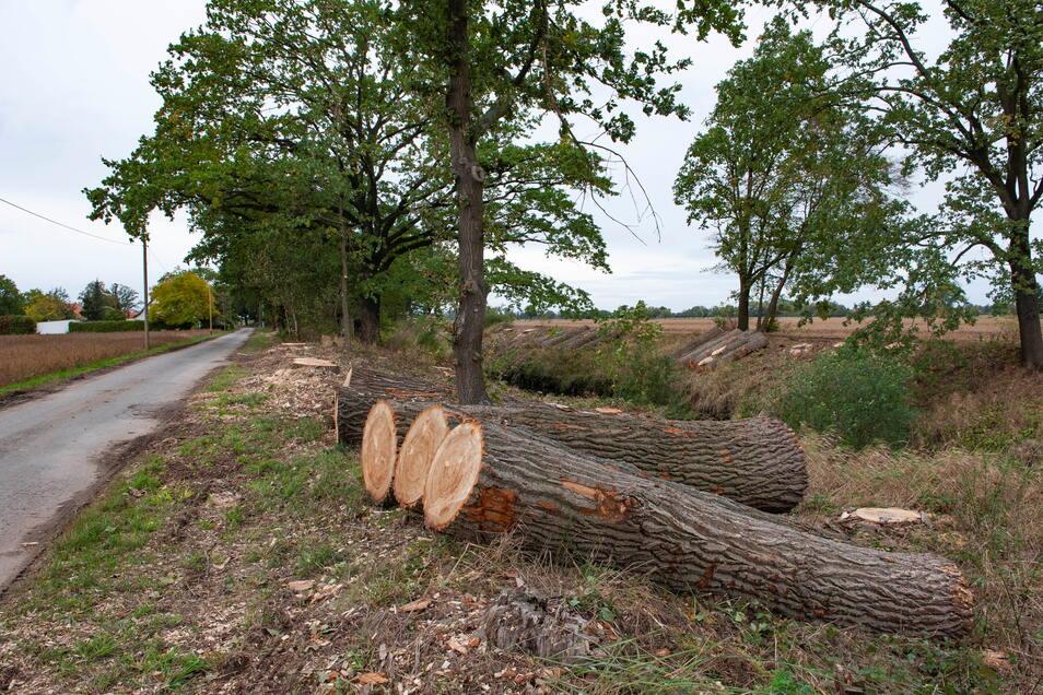 Der Landkreis Bautzen hat in der Fällsaison 2020/21 an Kreisstraßen 233 Bäume fällen lassen, weniger als im Vorjahreszeitraum.