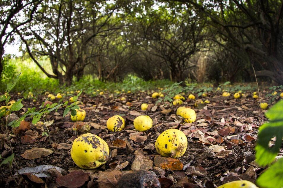 Viele Früchte sind in der Quittenplantage in Niederpoyritz bereits abgefallen.