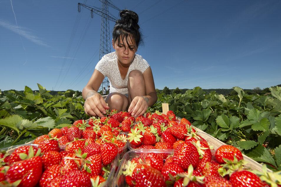 Die Rumänin Andrea Chiujdea arbeitet zum ersten Mal für Bio-Obst Görnitz. Auf dem Erdbeerfeld zwischen Brockwitz und Neusörnewitz pflückt sie Erdbeeren, die dann im Rewe oder Konsum angeboten werden.