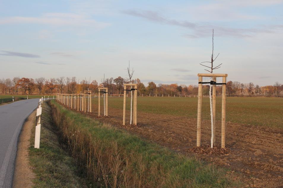 2019 wurden 61 Bäume von drei alten Apfelsorten gepflanzt - sie stehen heute 4,50 Meter von der Straße entfernt und haben einen Abstand von einem Meter zum Straßengraben. Fotos belegen, dass bei der Pflanzung mit dem Maßband gearbeitet wurde.