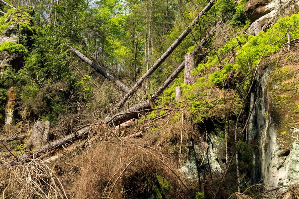 Gefällte Käferfichten entlang der Oberen Schleusen. Wenn die Bäume am Hang keinen Halt finden, kippen sie ins Wasser und müssen von dort geborgen werden.