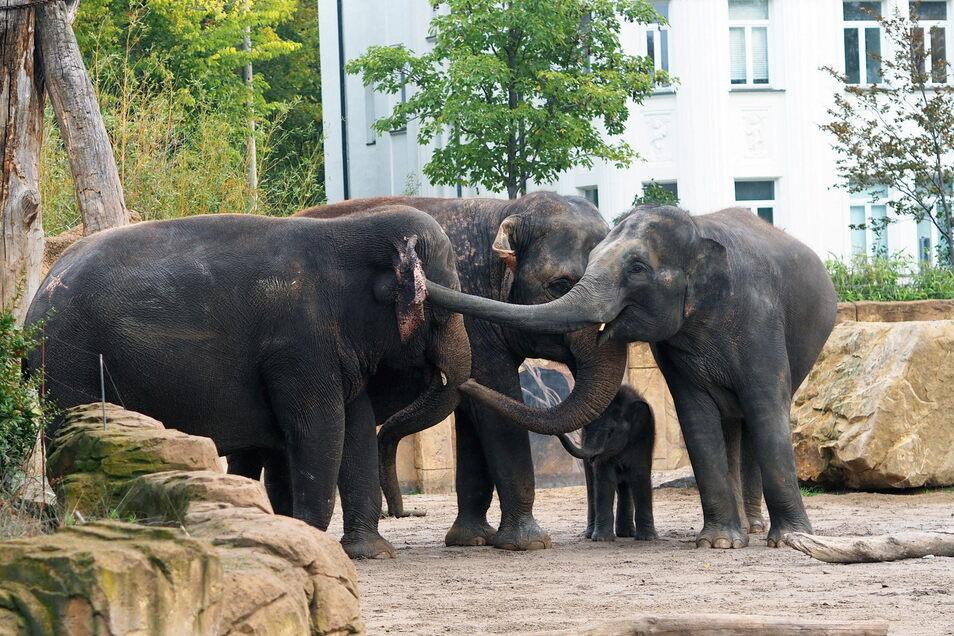 Die Leipziger Elefantenherde hat ihr jüngstes Mitglied verloren - Bulle Kiran wurde am Freitag tot aufgefunden.