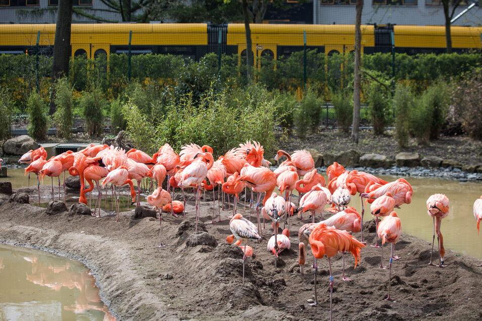 Über die Straßenbahn ganz in der Nähe ihrer Flamingos waren die Pflegerinnen zunächst nicht so begeistert.