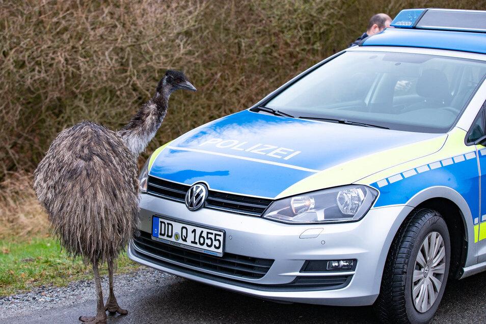 An der Luchsenburgstraße bei Ohorn wanderte diese Emu-Dame vergangenen Montag an der Straße entlang. Kurz darauf wurde sie eingefangen.