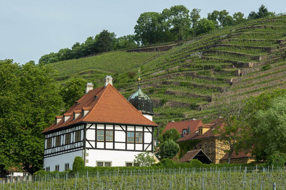 Ein Bakterium hat mehrere Kastanienbäume in der Nähe des Weinguts Hoflößnitz befallen.
