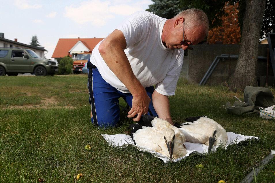 Storchenbetreuer Olaf Gambke verpasst jedem Jungtier einen Ring. Die Strehlaer erhalten die Nummern 52 und 53.