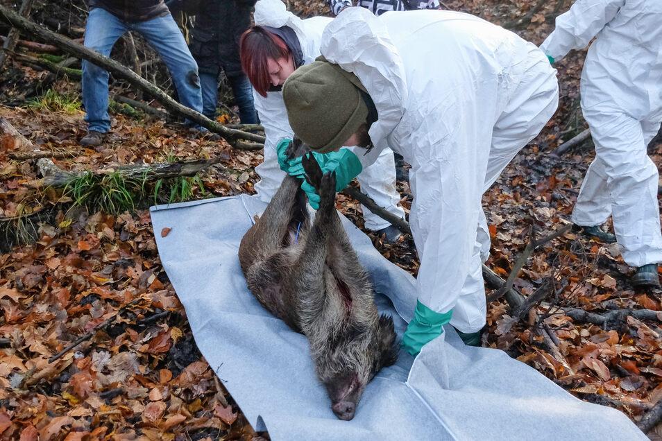 Am Dienstag fand bei Grimma eine Tierseuchenübung statt.