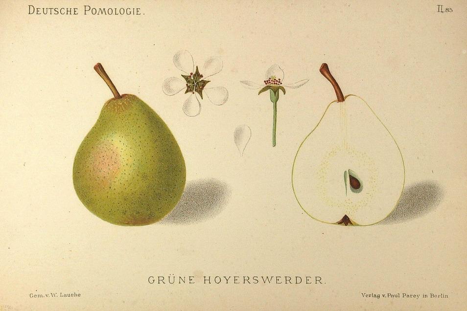 Dralle Birne – historische Zeichnung von 1882: die Grüne Hoyerswerder.