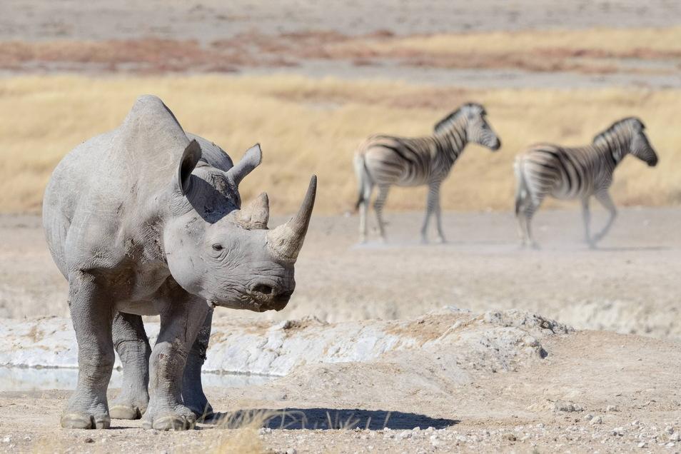 Für Nashörner könnten die kleinen Mini-Sender aus Dresden lebensrettend sein. Sie warnen die Ranger in afrikanischen Nationalparks vor Wilderern.