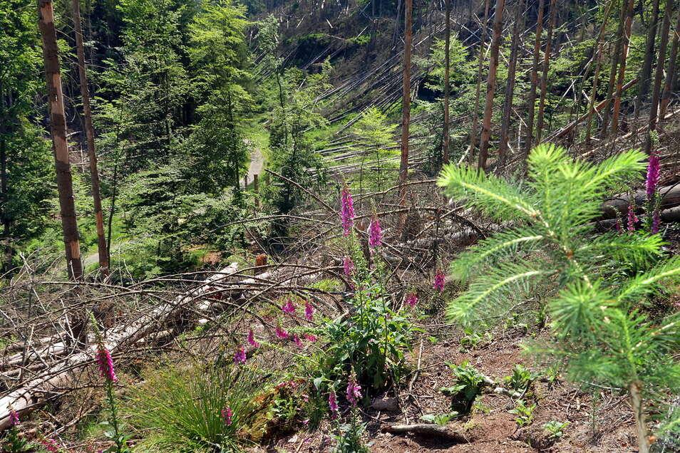 Der Weg durch den Großen Zschand unten im Tal wurde bereits frei geschnitten, da es sich um einen Rettungsweg handelt. Der Wegabschnitt ist zwischen Zeughaus und tschechischer Grenze.