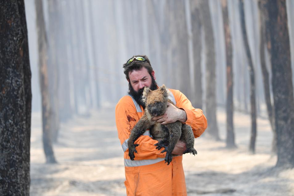 Andere Australier kümmern sich um Tiere:Wildtierretter Simon Adamczyk trägt einen Koala aus einem brennenden Wald in der Nähe von Cape Borda auf Kangaroo Island, südwestlich von Adelaide.