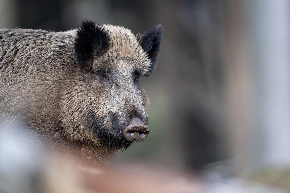 Wildunfall in Sebnitz: Das Wildschwein überlebte den Zusammenstoß mit einem Auto nicht.