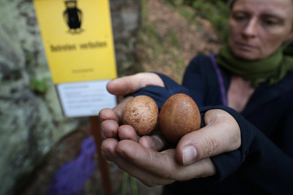 Diese Brut ist gescheitert: Vom Nationalpark beauftragte Kletterer konnten nur noch kalte Eier bergen.