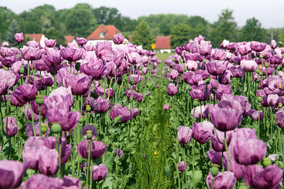 Auf einem Feld in Wartha steht Backmohn in voller Blüte.