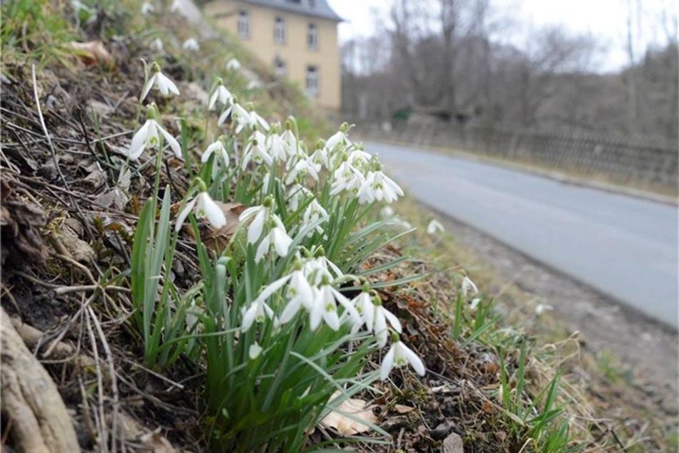 Schneeglöckchen, hier bei Lauenstein, sind jetzt oft schon am Verblühen.