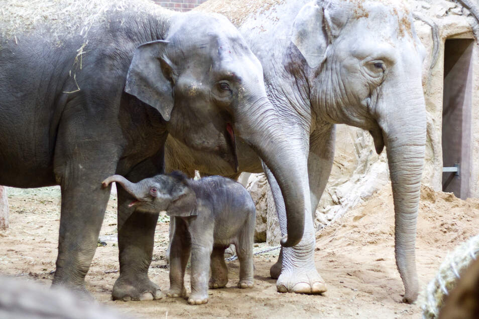 Die beiden Elefantenkühe Rani und Don Chung mit dem frisch geborenem Minifanten.