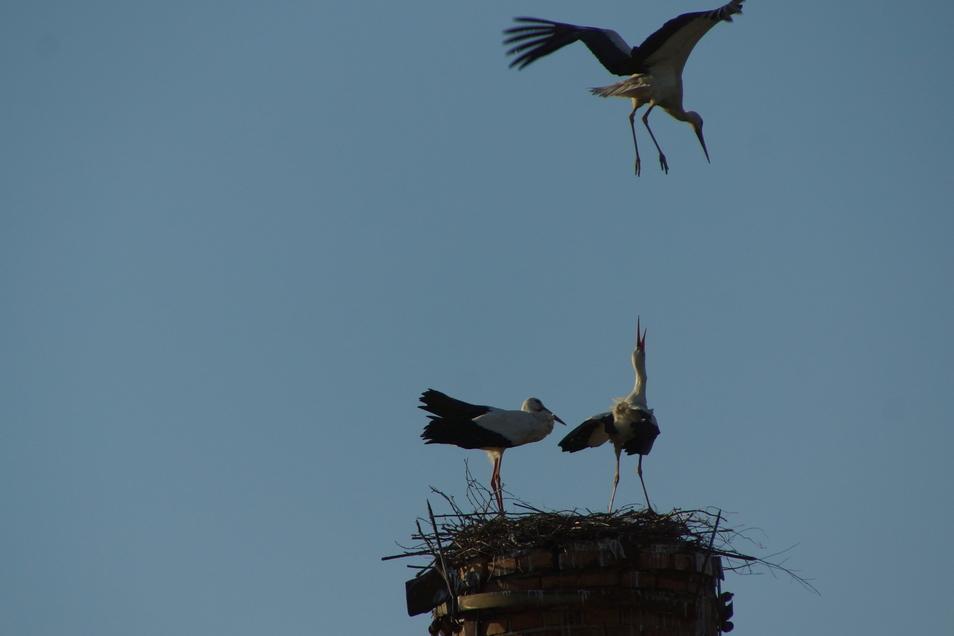 Attacke von oben: Das Storchenpaar, das auf einem Schornstein in Döbeln Großbauchlitz ein Nest baut, schlägt einen weiteren Artgenossen in die Flucht.