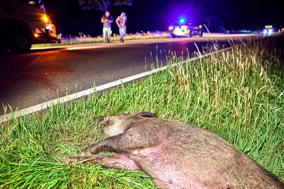 Die Unfallstelle: Dieses Wildschwein kollidierte mit einem Motorrad und überlebte den Unfall nicht.