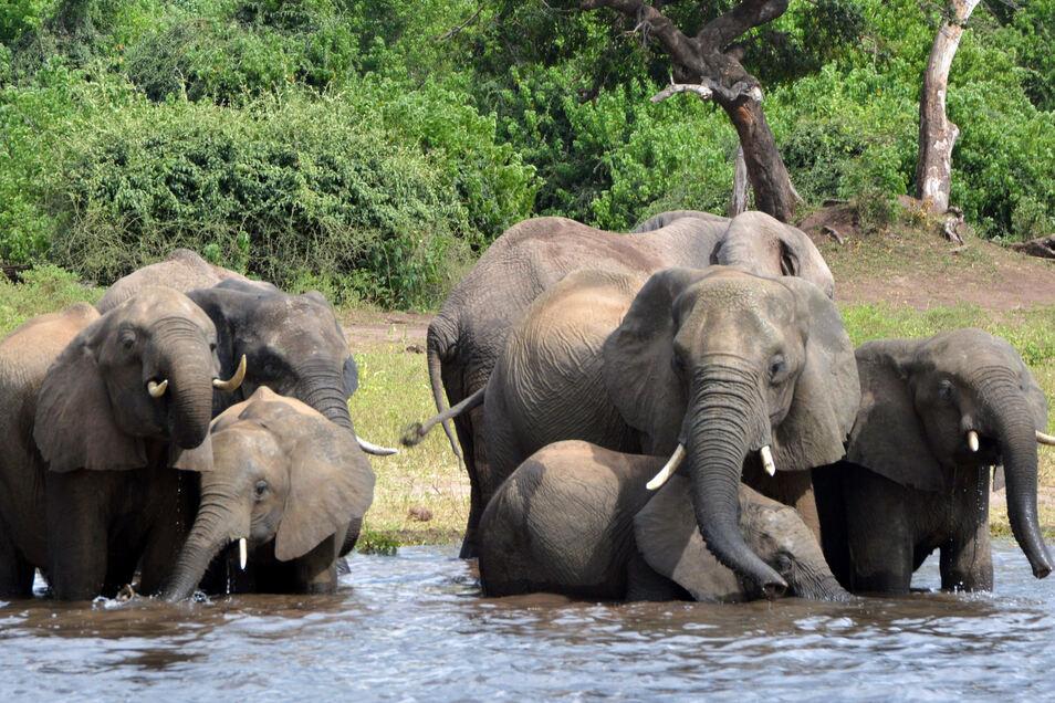 Elefanten trinken Wasser im Chobe-Nationalpark in Botswana.