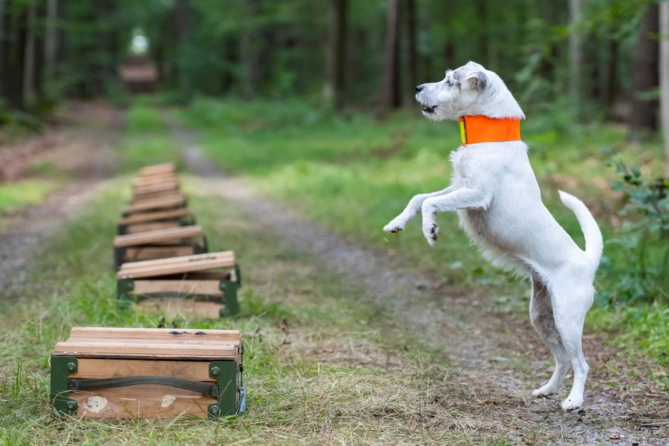 """Parson Russell Terrier """"Distel"""" reagiert an präparierten Kisten während der Ausbildung zum Kadaverspürhund im Kampf gegen die Afrikanische Schweinepest."""