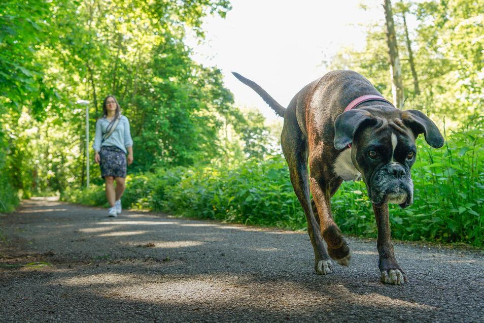 Hunde können sich an vielen Stellen in Bautzen ohne Leine bewegen. Darin sehen einige Menschen auch Gefahren.