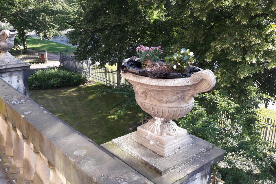 In den vergangenen Jahren brütete die Ente immer wieder in einer Amphore auf dem großen Balkon an der Straßenseite.