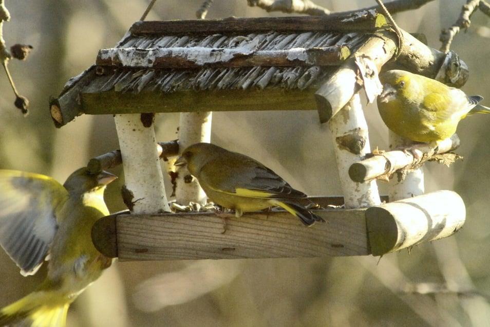 Am Futterhäuschen geht es heiß her zwischen den Grünfinken, die sich gegenseitig die Körner streitig machen. Während diese Art relativ häufig ist, hatte die Blaumeise Im Frühjahr große Verluste durch ein Bakterium zu verkraften. Die Zählung am Wo