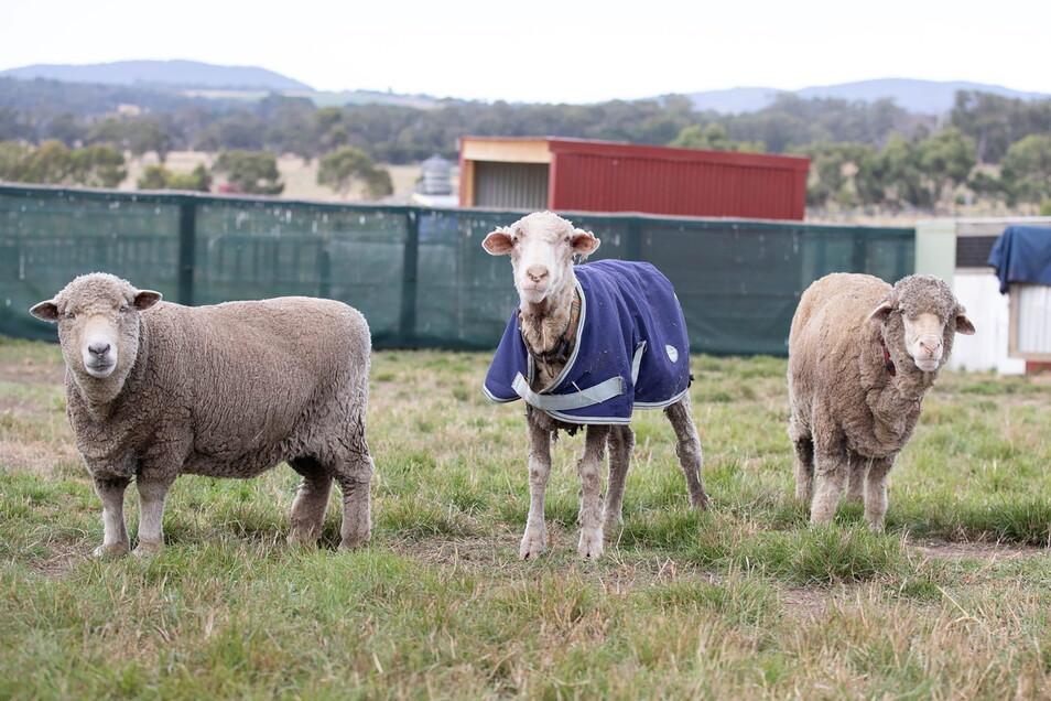 Das Schaf Baarack (M) neben zwei anderen Schafen, nachdem sein über 35 Kilo schweres Fell abgeschoren wurde.