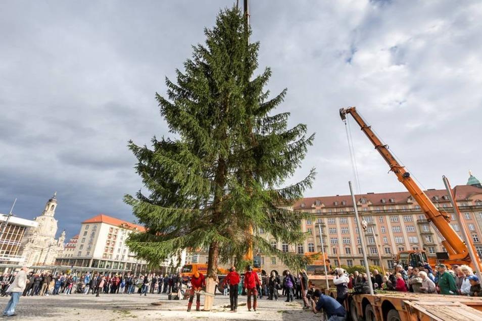 Ein Langholztransporter fuhr ihn dann über die Carolabrücke bis zum Altmarkt. Zwei Kräne waren nötig, um den Baum aufzustellen.