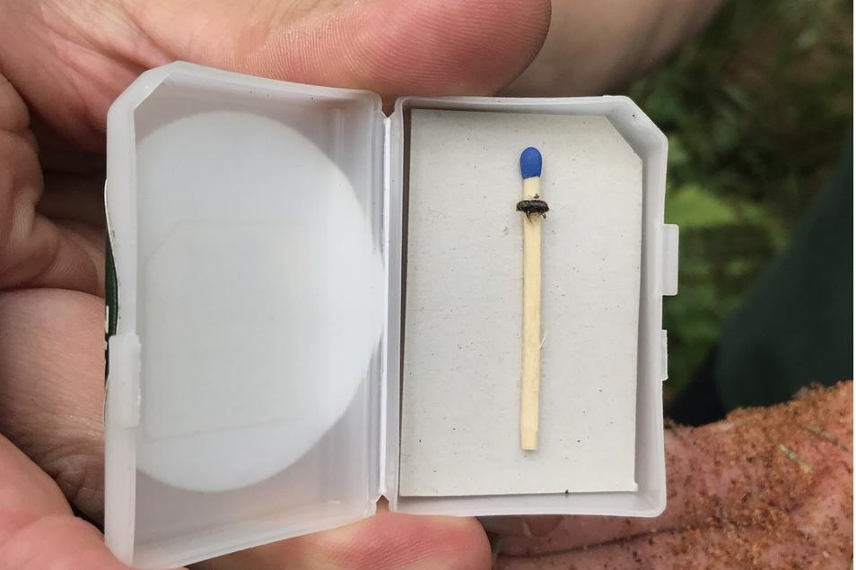 Der Käfer ist nicht größer als ein Streichholzkopf. Das Holzmehl zeigt, wo er frisst.