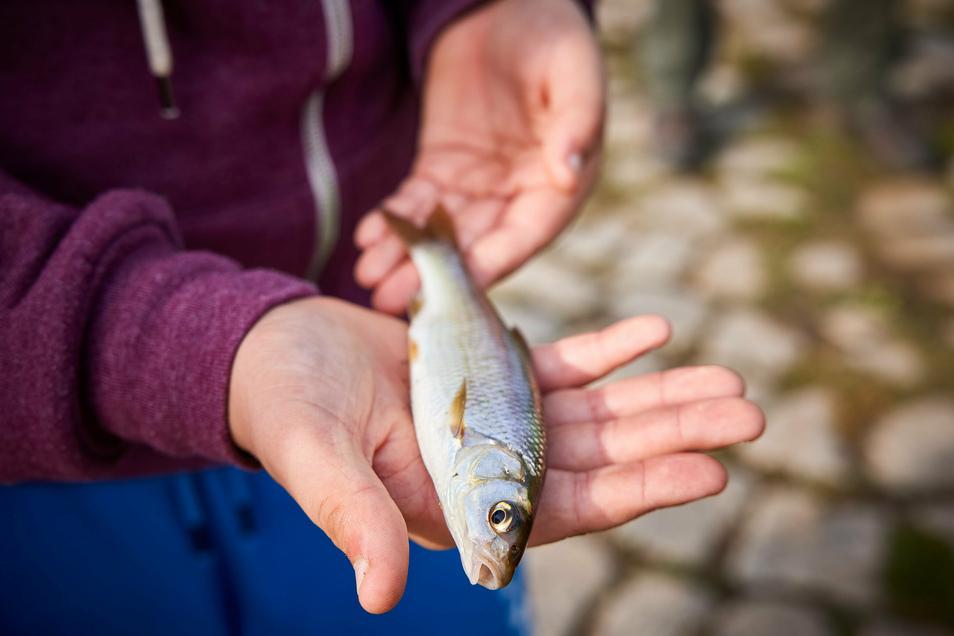 Endlich Abwechslung: Die Nase gehört zur natürlichen Fischgesellschaft in der oberen Elbe.