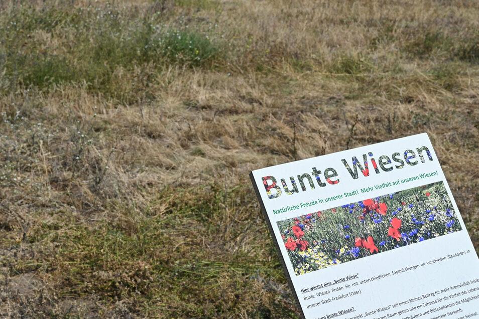 Wie diese Wiese in Frankfurt/Oder sehen auch viele in Dresden aus. Speziell auf dieser waren Wildblumen ausgesät worden, auf die das Schild hinweist. Sie sind aber auch vertrocknet.