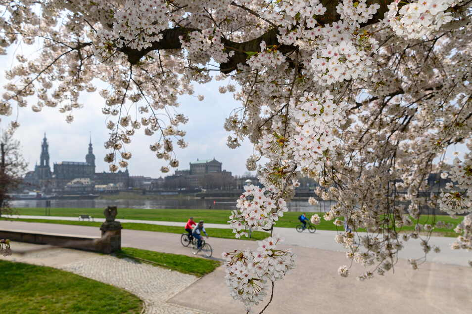 Radfahrer fahren auf dem Elberadweg vor der Dresdner Altstadtkulisse an blühenden Zierkirschen vorbei.