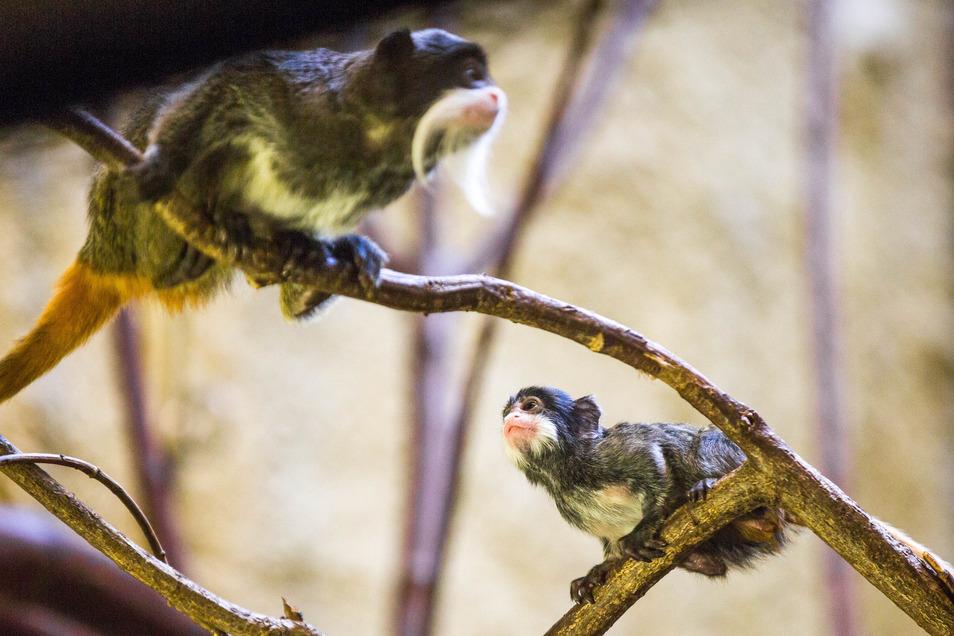 Der Kaiserschnurrbarttamarin ist eine Primatenart aus der Familie der Krallenaffen.