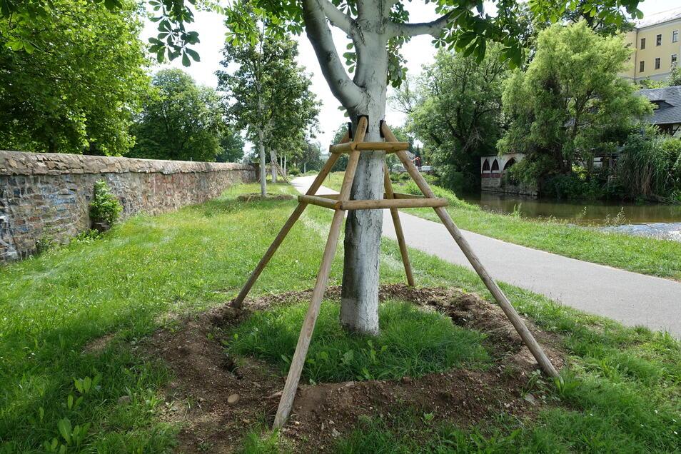 An der Wappenhenschanlage in Döbeln werden Bäume fürs Umpflanzen vorbereitet. Sie weichen der hier geplanten Hochwassermauer.