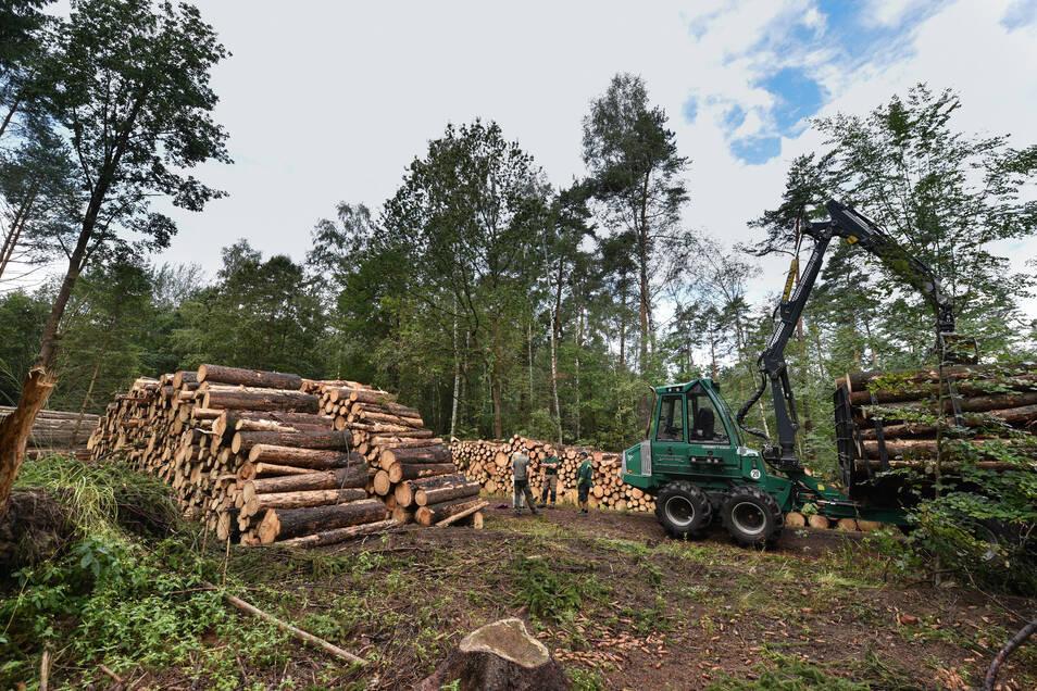 Tausende vom Käfer befallene Bäume mussten dieses Jahr in der Heide gefällt werden, wie hier im August nahe dem Dachsenberg.