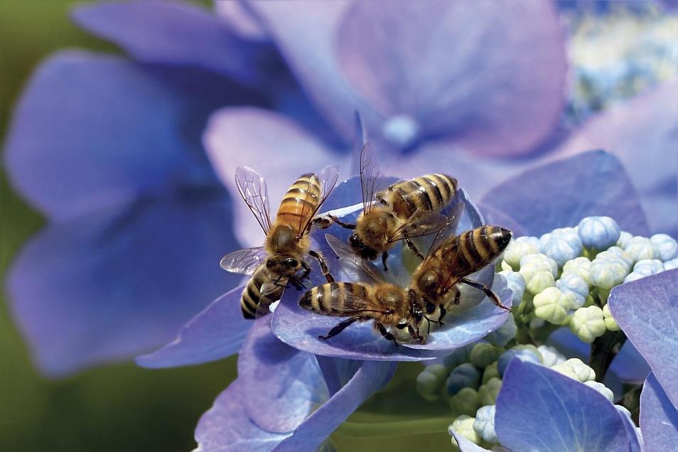 Honig- und Wildbienen brauchen Hilfe. Bei Anlegen eines Gartens sollte man darauf Rücksicht nehmen.