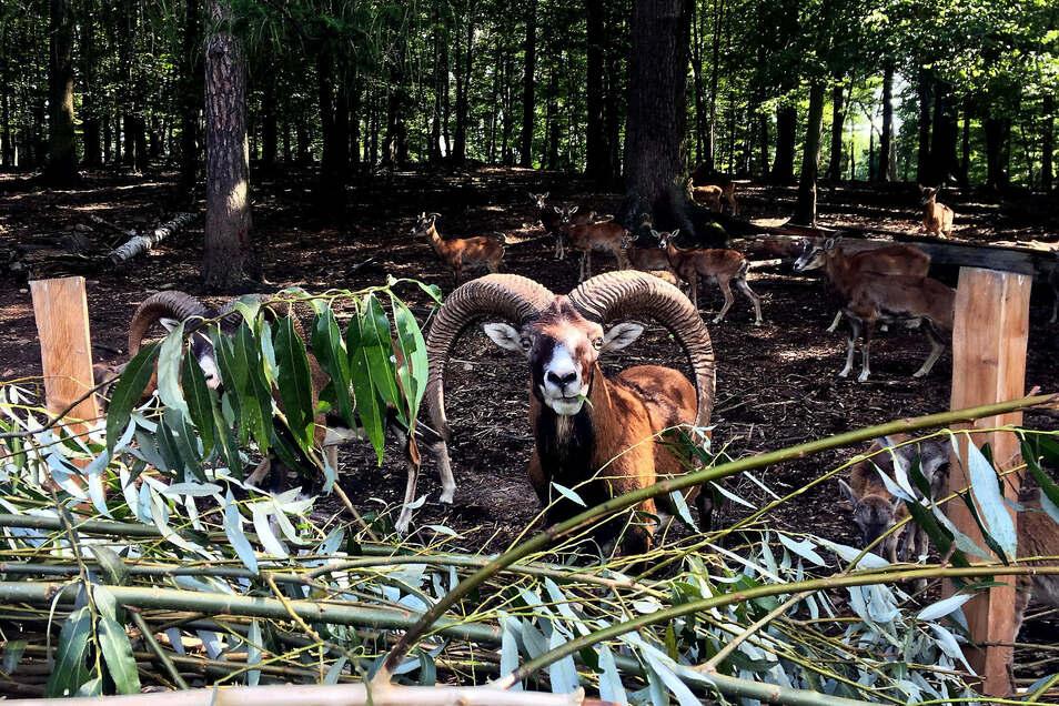 Mufflon-Bock Emil lässt sich die frischen Weidenblätter schmecken.