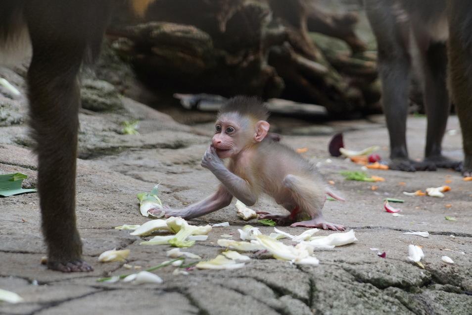 Nach vier Wochen gewöhnt sich Dajan bereits an feste Nahrung.
