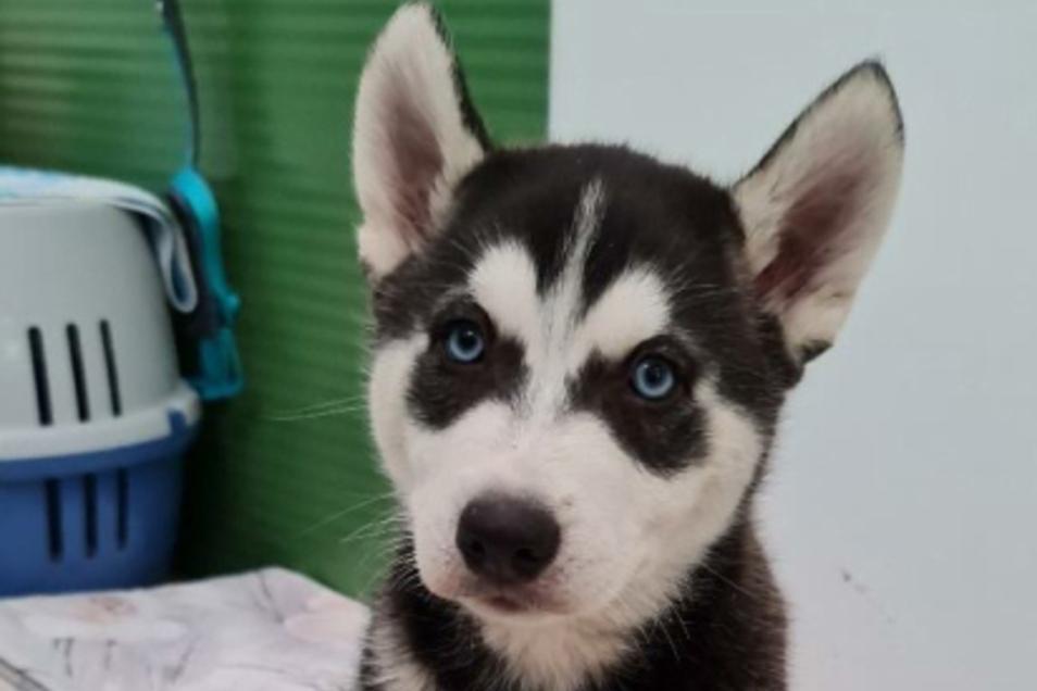 Einer der kleinen Huskys, die jetzt in einem Tierheim untergebracht wurden