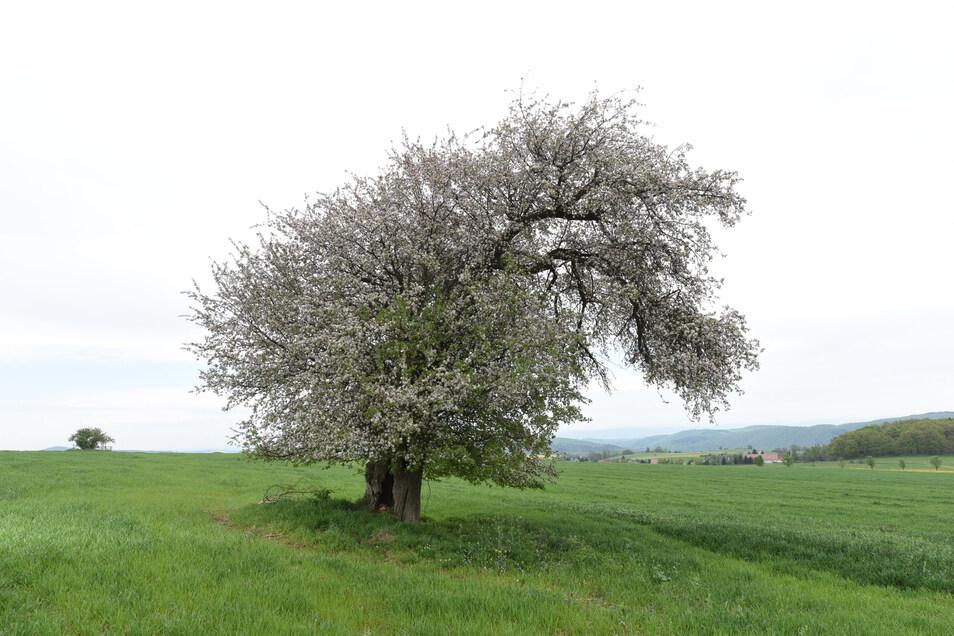 Wenn der Cunnersdorfer Wildapfelbaum blühte, zog er Fotografen und Maler magisch an.