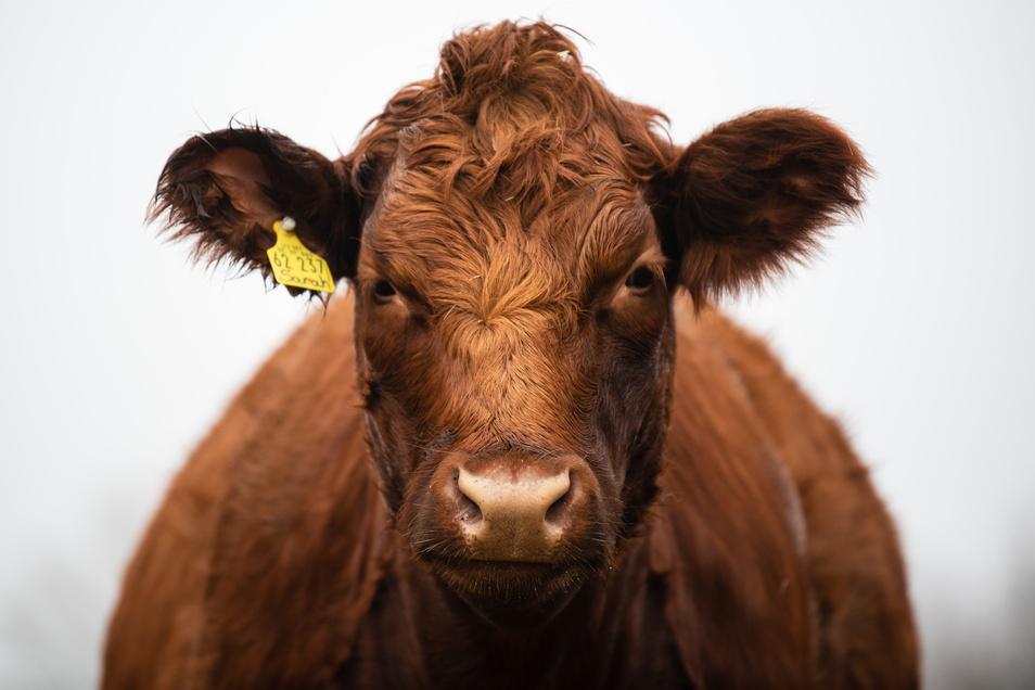wie lange trägt eine kuh