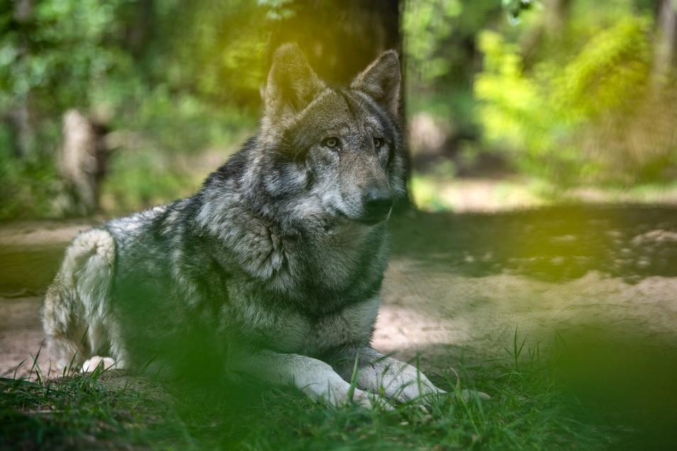 Schon seit Längerem schleicht ein Wolf durch Waitzdorf.
