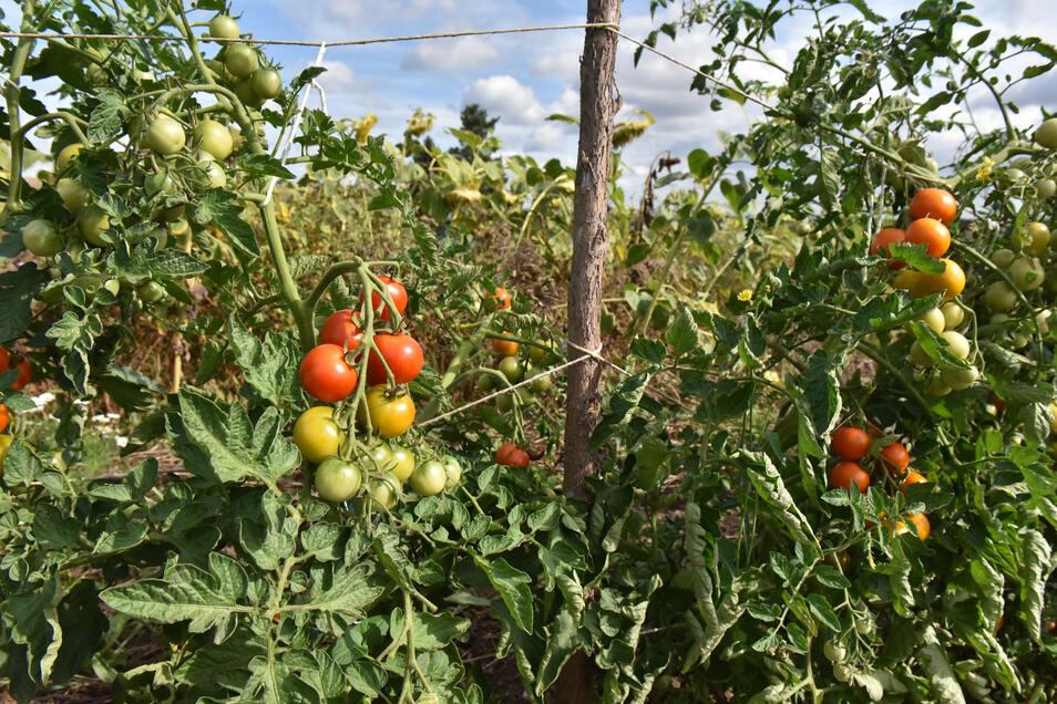 Tomaten vom eigenen Feld gehören in der Küche von Jana Grotheer dazu.