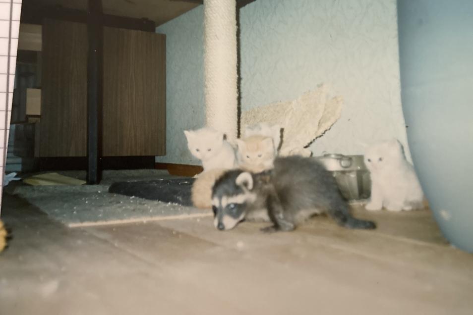 Kinderstube mit Kätzchen und Waschbär-Jungem.
