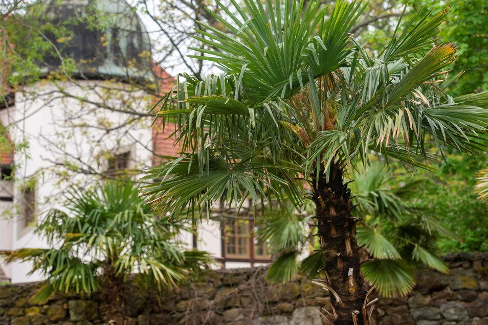 Palmen im Hof der Hoflößnitz, zumindest für diesen Sommer.