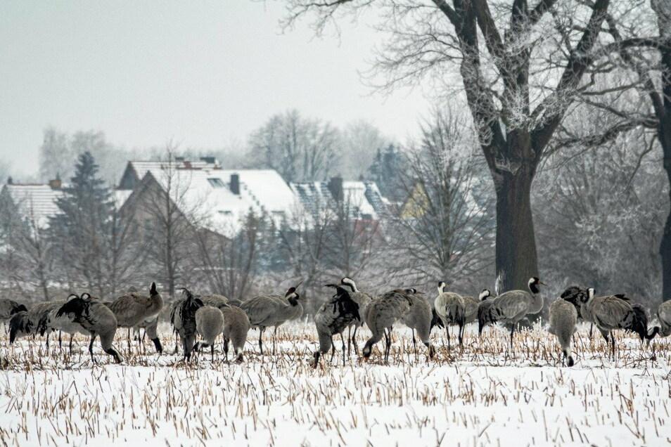 Trotz der extremen Kälte und des Schnees in diesem Winter haben rund 500 Kraniche im Biosphärenreservat Oberlausitzer Heide-und Teichlandschaft ausgeharrt.