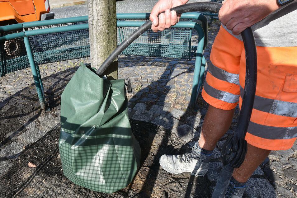 Andreas Günther von der Städtischen Dienstleistungsgesellschaft (SDG) füllt einen Wassersack an einem Ahornbaum auf dem Klosterplatz Zittau.