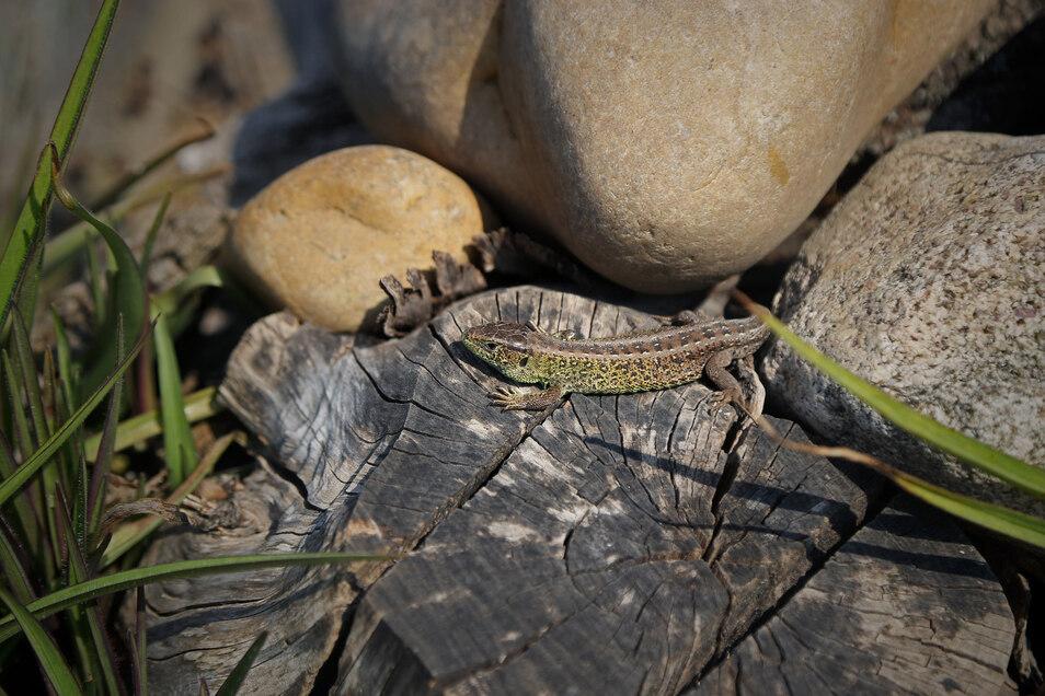 Eidechsen lieben sonnige Plätze. Durch die warmen Temperaturen im April sind die Tiere wieder aktiver geworden.